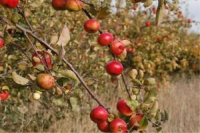 apple orchard in autumn
