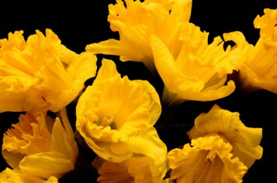 Daffodils against a black background