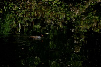 moorhen on regent's canal London