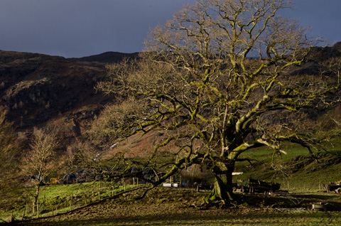A tree covered in moss on a sunny winter's afternoon near Coniston, Cumbria, England