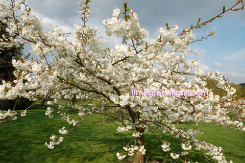white cherry blossom in full bloom at Kew Gardens