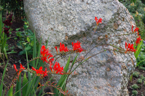 orange flowers against grey stone at Ashridge in Hertfordshire