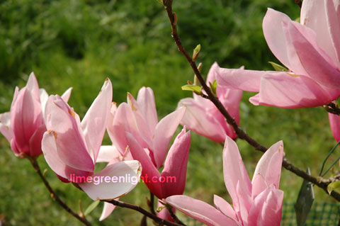 pink magnolia in bloom at Kew Gardens