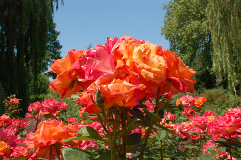 close up of roses with mixed colours of red orange and white