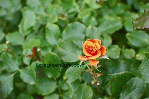 small solo deep yellow rose surrounded by green leaves