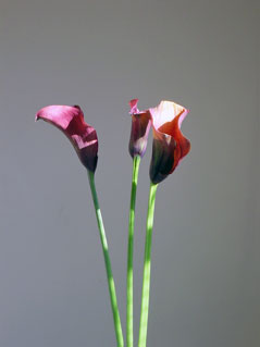 dark red lillies with grey background