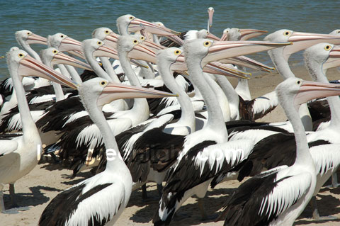 flock of pelicans at Southport Australia