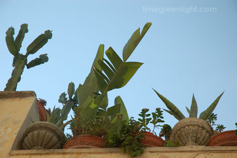 cacti on roof of house in town of Gallatone, Puglia