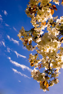 white cherry blossom against sky with streaky clouds