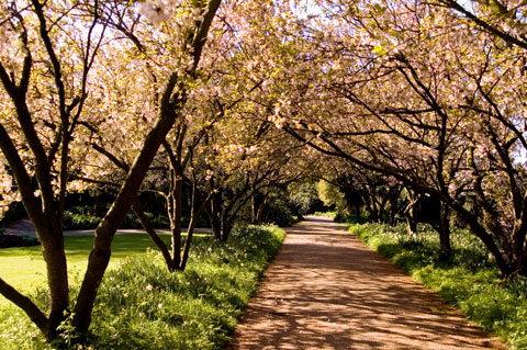 avenue of cherry trees in regent's park