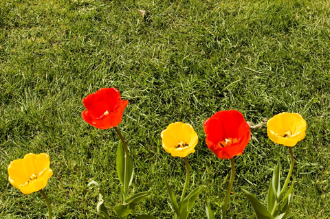 five yellow and red tulips in regent's park
