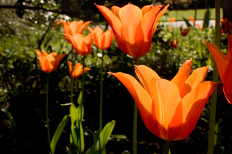 orange tulips in gardens at regent's park london