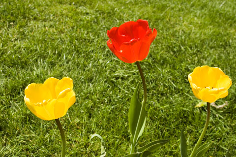 three yellow and red tulips in regent's park